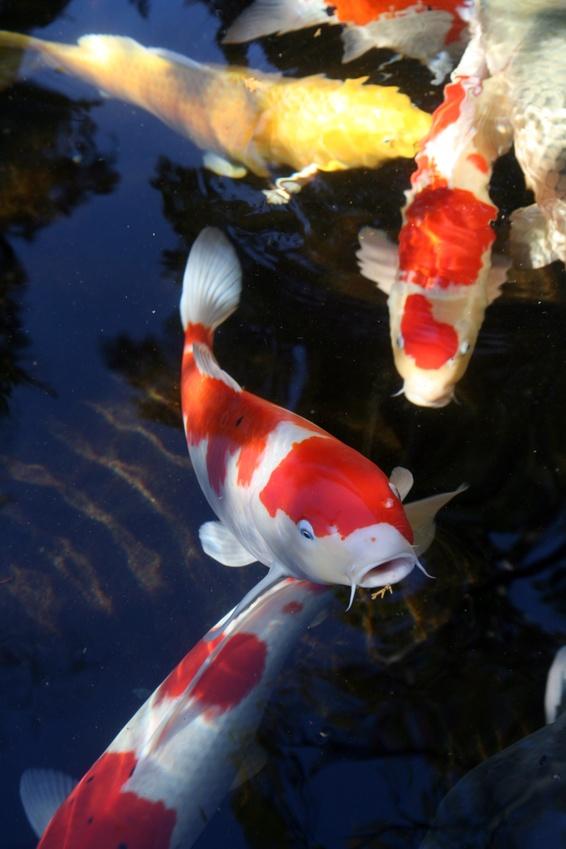 Japanischer Koi Karpfen im Teich