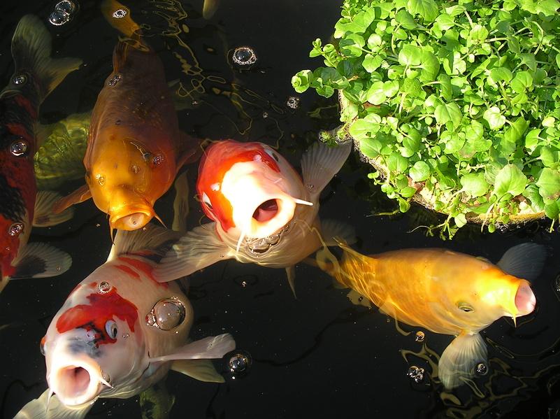 Schöner Koi Teich