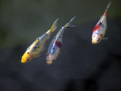 Shubunkin info zu aussehen zucht haltung f tterung for Goldfischarten teich