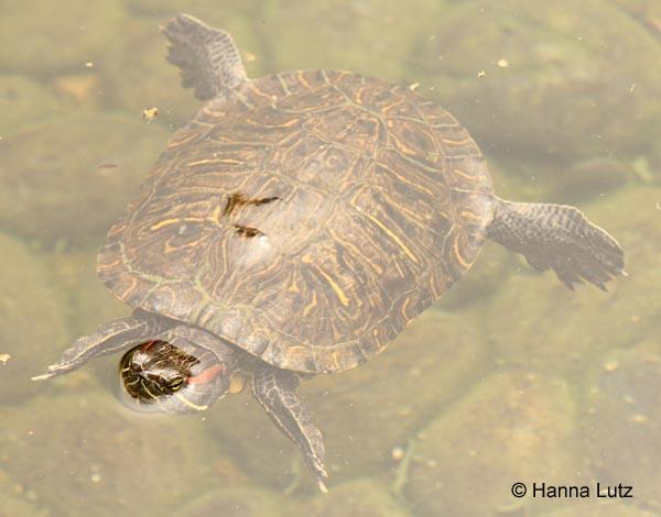 Schwimmende Wasserschildkröte