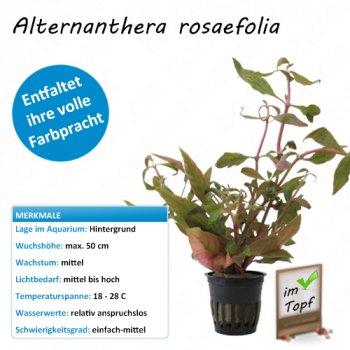 Alternanthera rosaefolia im Topf