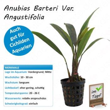 Anubias barteri var. angustifolia im Topf