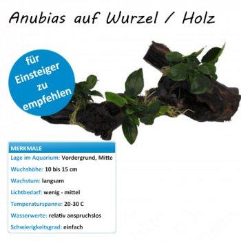 Anubias auf Wurzel / Holz