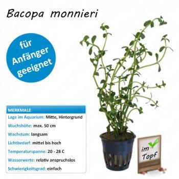 Bacopa monnieri im Topf  - Kleines Fettblatt - Wasserpflanze