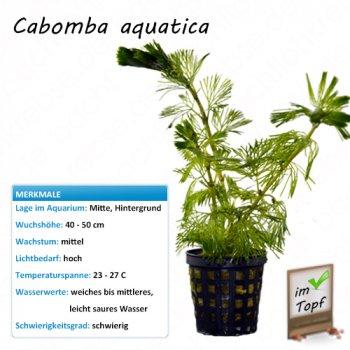 Cabomba aquatica im Topf