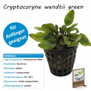 Cryptocoryne wendtii green im Topf