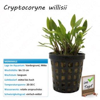 Cryptocoryne willisii im Topf