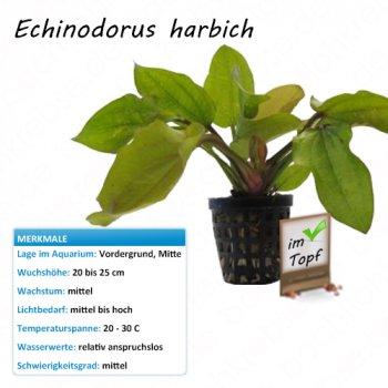 Echinodorus harbich im Topf
