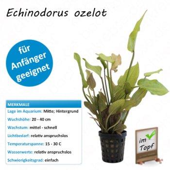 Echinodorus ozelot im Topf