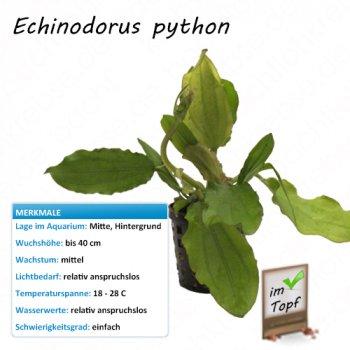 Echinodorus python im Topf
