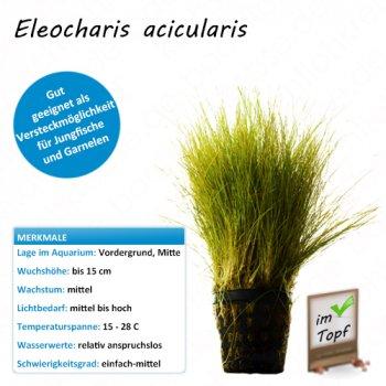 Eleocharis acicularis im Topf
