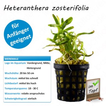 Heteranthera zosterifolia im Topf