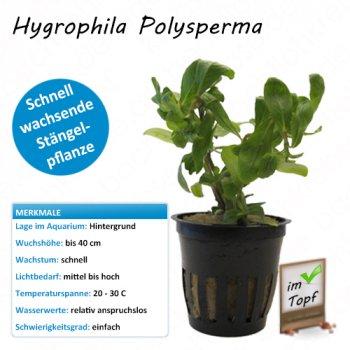 Hygrophila Polysperma im Topf