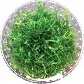Javamoos (Taxiphyllum barbieri)