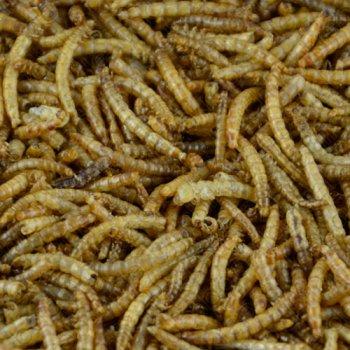 Lebende Mehlwürmer - 125 g in der PE-Dose