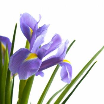 Sumpfschwertlilie / Asiatische Sumpfiris - Iris laevigata