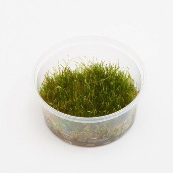 Giant Moss (Taxiphyllum sp. Giant) XXL, Ø 8 cm