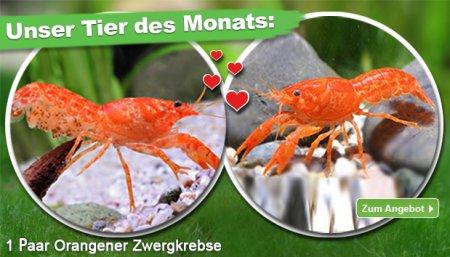 Orangener Zwergkrebs / CPO