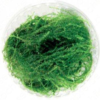 Stringy Moos (Leptodictyum riparium) in vitro