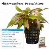 Alternanthera bettzickiana im Topf