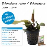 Echinodorus rubra / Echinodorus osiris rubra im Topf
