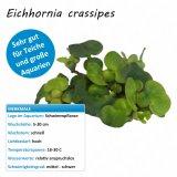 Eichhornia crassipes - Dickstielige Wasserhyazinthe