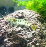 Galaxy Tiger Garnele