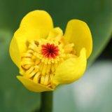 Gelbe Teichrose / Seerose - Nuphar lutea