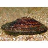 Große Teichmuschel (Anodonta cygnea)