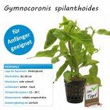 Gymnocoronis spilanthoides im Topf