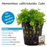 Hemianthus callitrichoides Cuba im Topf
