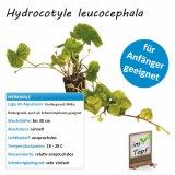 Hydrocotyle leucocephala im Topf