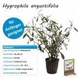 Hygrophila angustifolia im Topf