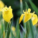 Wasserschwertlilie / Wasseriris - Iris pseudoacorus