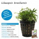 Lilaeopsis brasiliensis im Topf