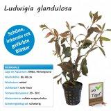 Ludwigia glandulosa im Topf