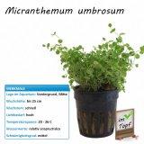 Micranthemum umbrosum im Topf