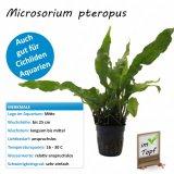 Microsorium pteropus im Topf
