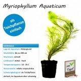 Myriophyllum Aquaticum im Topf