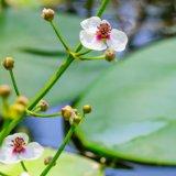 Gewöhnliches Pfeilkraut - Sagittaria sagittifolia