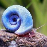 Posthornschnecken (PHS) Blau, 10 Stück, Top Zuchtqualität