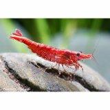 Red Fire (Cherry) Zwerggarnele