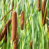 Breitblättriger Rohrkolben - Typha latifolia