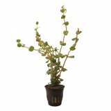 Rotala rotundifolia im Topf