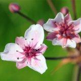 Schwanenblume - Butomus umbellatus