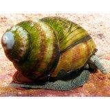 Sumpfdeckelschnecke - Schnecke für Teich & Aquarium