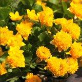 Gefüllte Sumpfdotterblume - Caltha palustris Multiplex