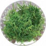 Taiwan Moos (Taxiphyllum alternans Taiwan Moss) in vitro