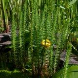 Tannenwedel - Hippuris vulgaris
