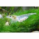 White Pearl Garnele / Weißperlengarnel